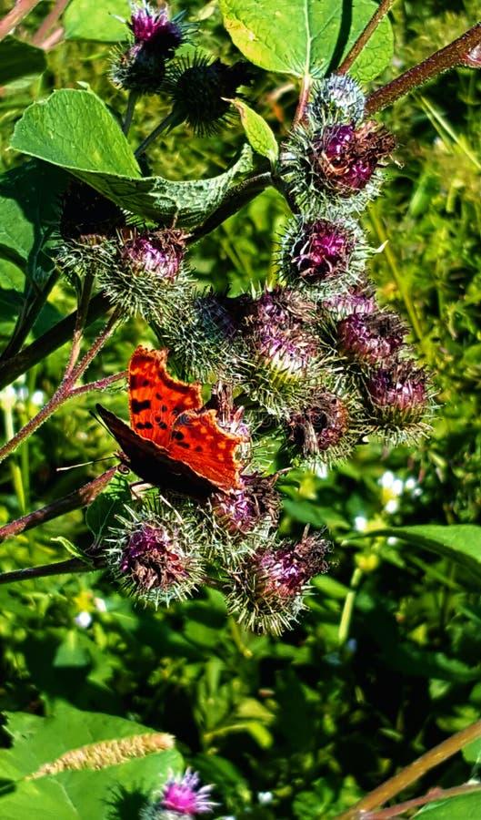 Оранжевая бабочка на лопухе стоковая фотография rf