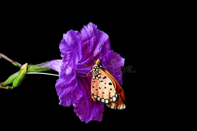 Оранжевая бабочка на фиолетовом цветке на черноте изолировала предпосылку стоковые фотографии rf