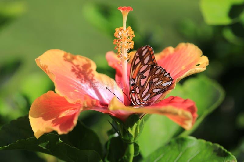 Оранжевая бабочка на цветке гибискуса стоковое изображение