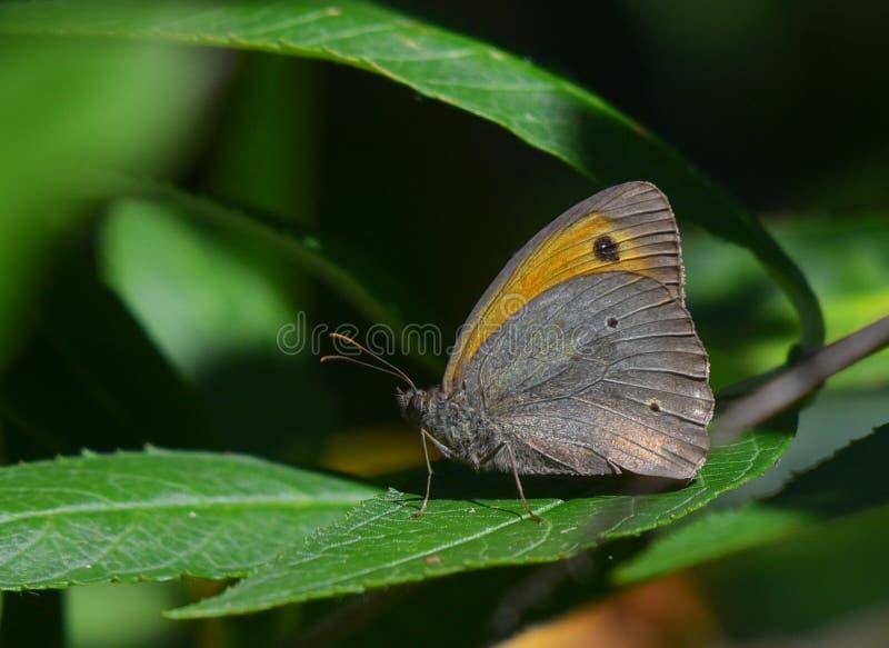 Оранжевая и бежевая бабочка на зеленых листьях стоковая фотография