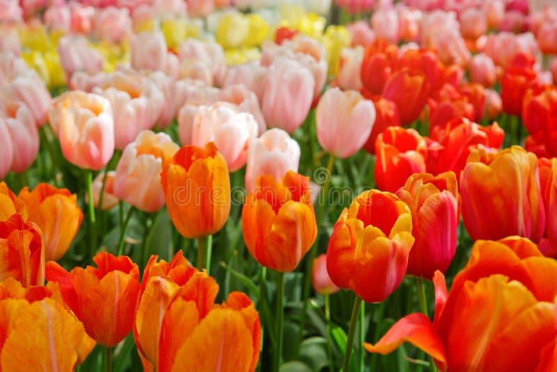 Оранжевая и розовая предпосылка тюльпанов стоковое изображение rf