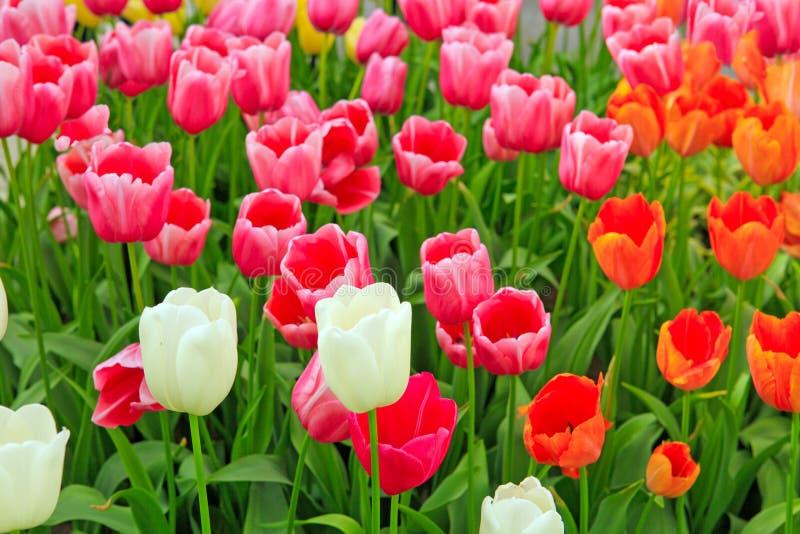 Оранжевая и розовая предпосылка тюльпанов стоковые фото