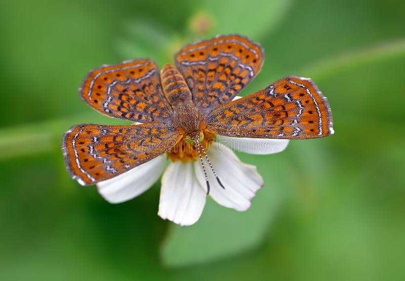 Оранжевая сумеречница на цветке стоковые изображения