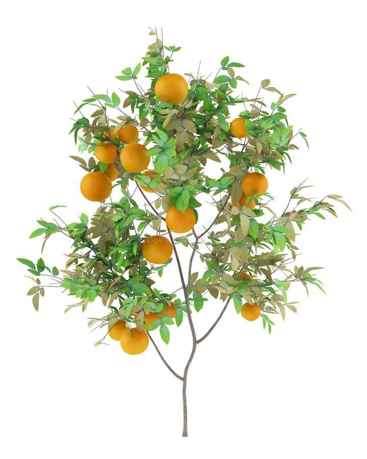 Оранжевое дерево при апельсины изолированные на белизне иллюстрация вектора