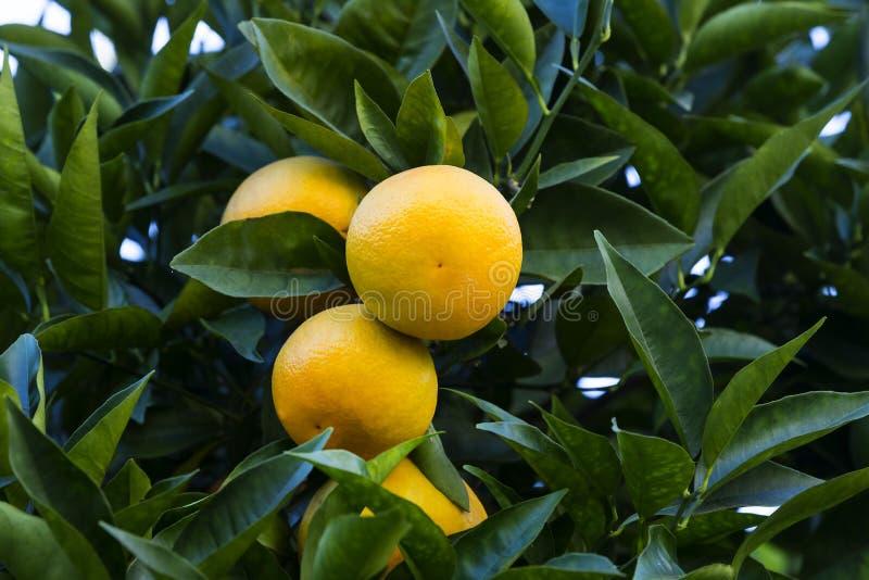 Оранжевое дерево с плодоовощами зреет стоковое фото