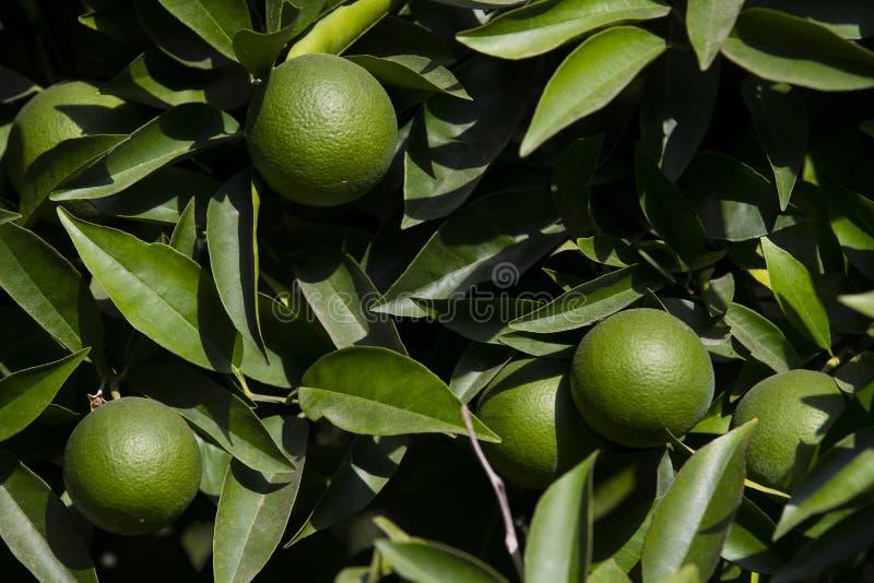 Оранжевое дерево с плодоовощами зреет стоковая фотография rf