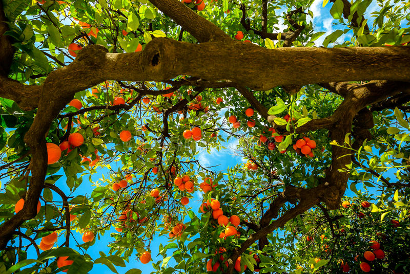 Оранжевое дерево в Севилье Испании стоковое фото rf