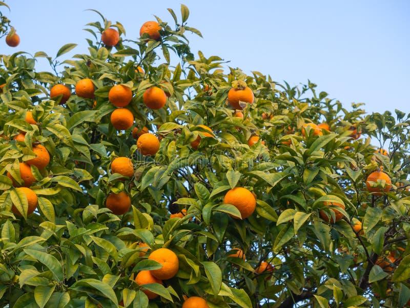Оранжевое дерево с ветвями полными много зрелых плодоовощей стоковое фото rf