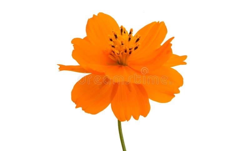 оранжевое изолированное cosme стоковое фото