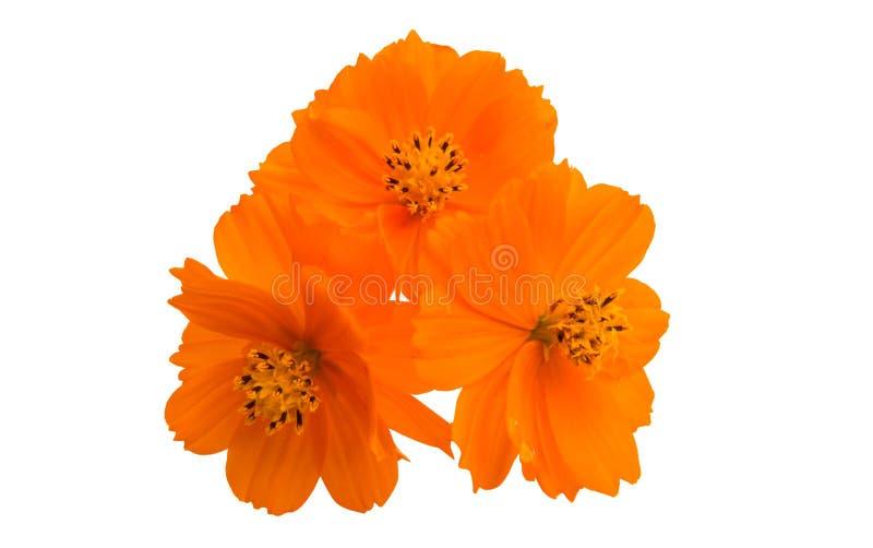 оранжевое изолированное cosme стоковая фотография