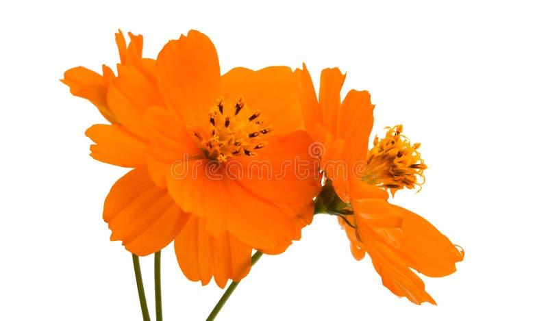 оранжевое изолированное cosme стоковое изображение