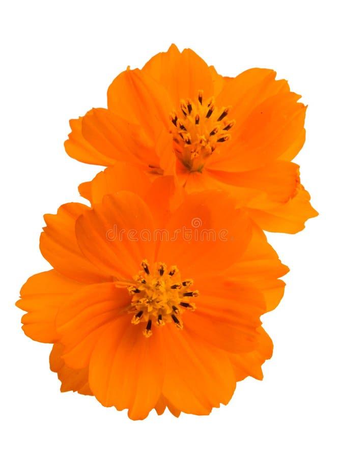оранжевое изолированное cosme стоковые изображения