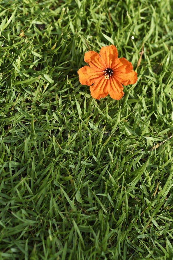 Оранжевое цветене цветка на зеленой траве или sward стоковое фото rf
