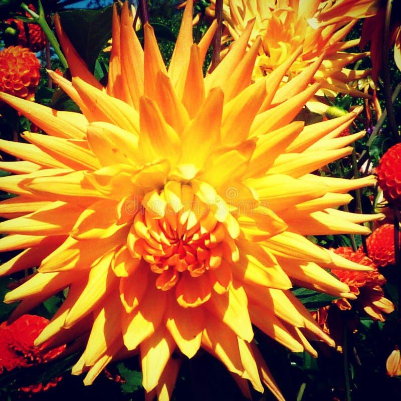Оранжевое Dahlie стоковая фотография