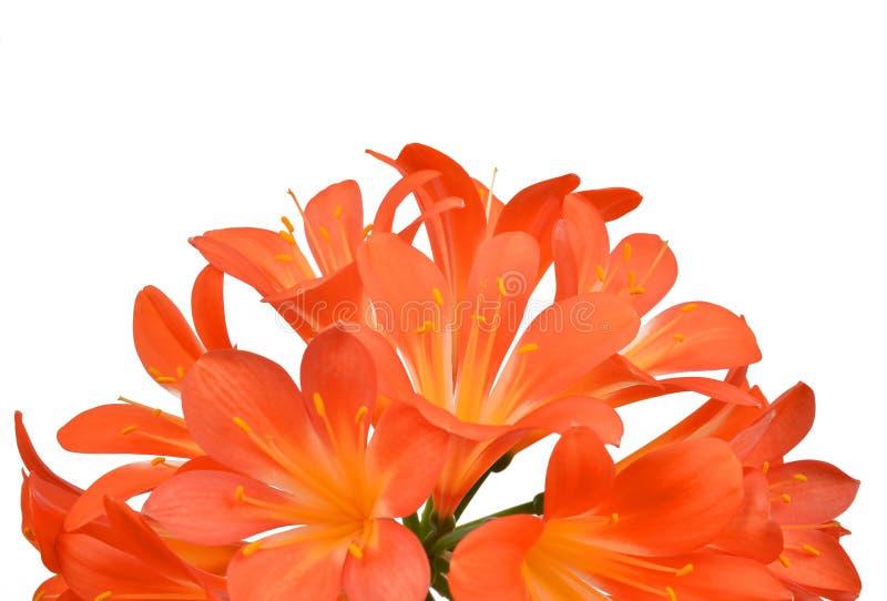 Оранжевое miniata Clivia стоковые изображения rf