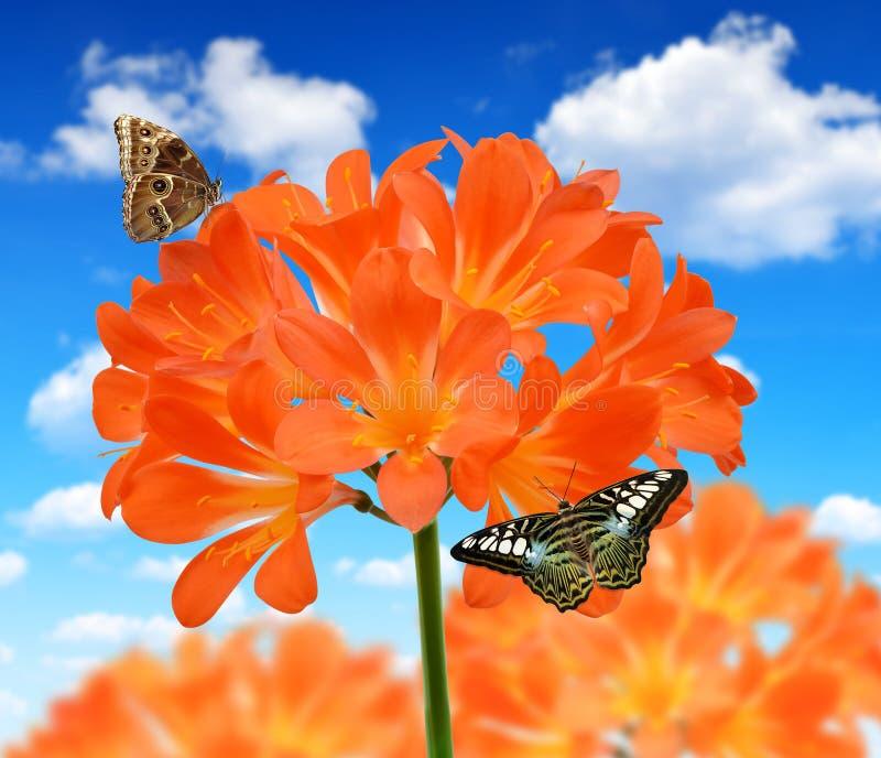 Оранжевое miniata Clivia стоковая фотография