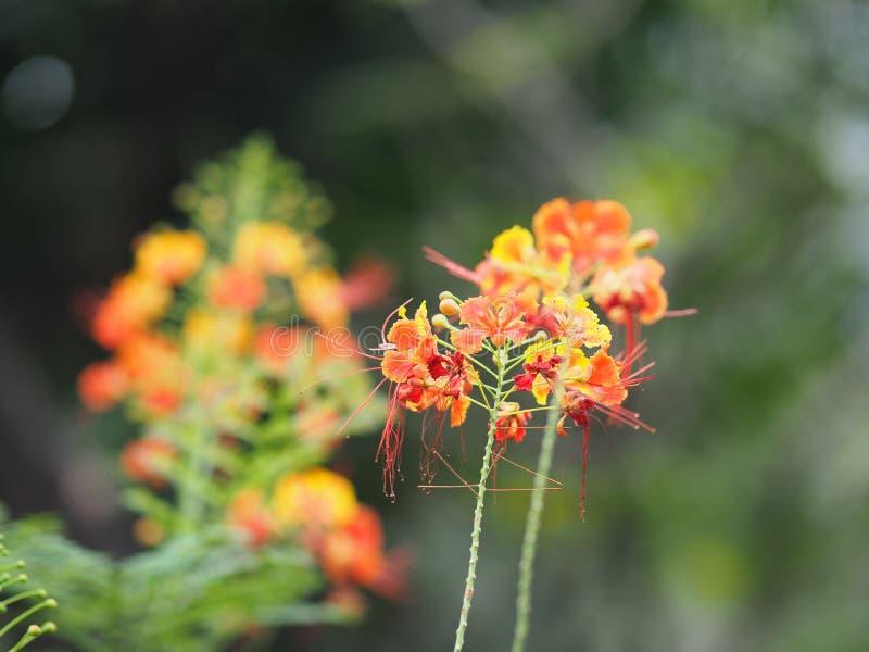 Оранжевое regia Flam Delonix цветка boyant дерево пламени королевское Poinciana стоковые фото