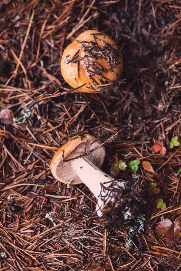 2 оранжевое webcap, грибы mucosus Cortinarius стоковое изображение