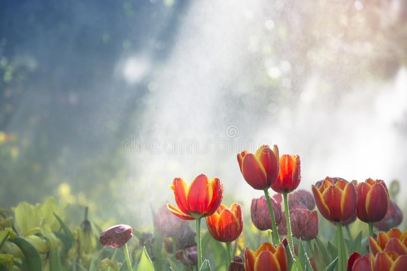 Оранжево-желтые тюльпаны садовничают в тумане с падением и солнечным светом воды с bokeh дерева стоковое фото
