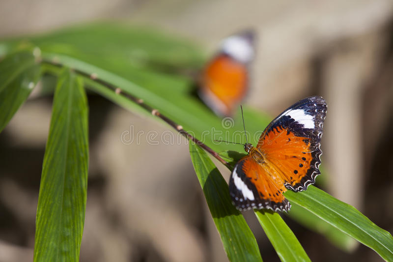 Оранжевые бабочки стоковые изображения rf