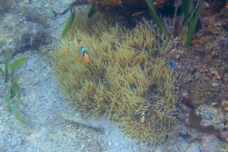 Оранжевые белые clownfish в коралловом рифе, подводном фото Рыбы Nemo в ветренице Тропический seashore или ныряя стоковые фото