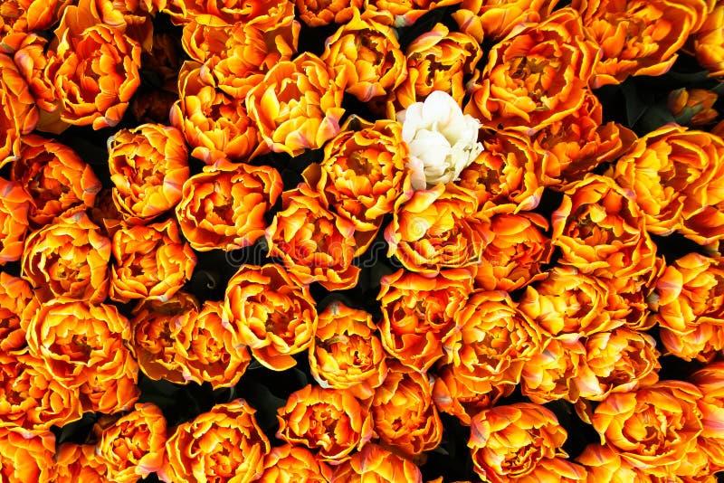 Оранжевые, желтые и красные тюльпаны весны пламени в Амстердаме начиная расцветать увиденный от взгляда сверху с одним одиночным  стоковые изображения
