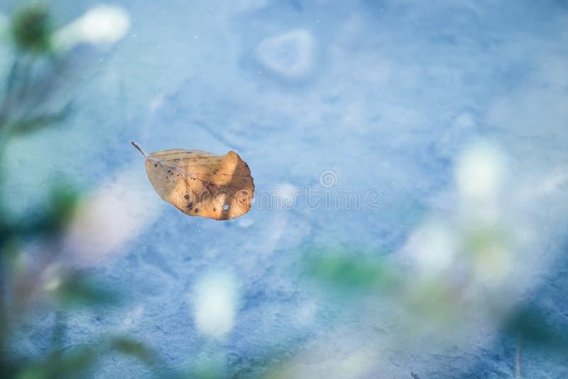 Оранжевые заплывы лист в открытом море реки, экземпляра стоковые фото