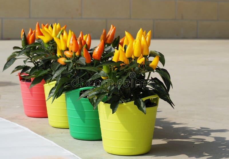 Оранжевые и желтые заводы перца chili в multicolor цветочных горшках, стоковое фото rf