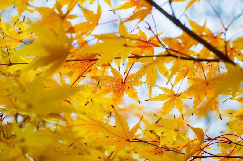 Оранжевые и желтые листья дерева клена стоковое изображение