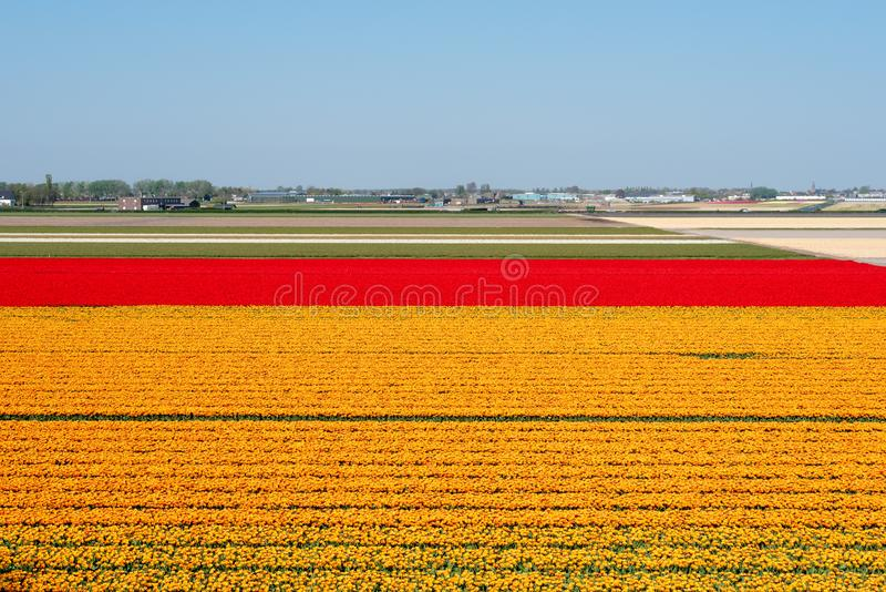 Оранжевые и красные поля тюльпана в Нидерланд стоковая фотография