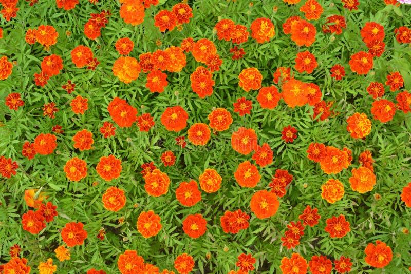 Оранжевые и mahogany цветки ноготк стоковая фотография rf