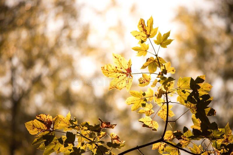 Оранжевые кленовые листы в лесе в Австрии, солнце осени стоковые изображения rf