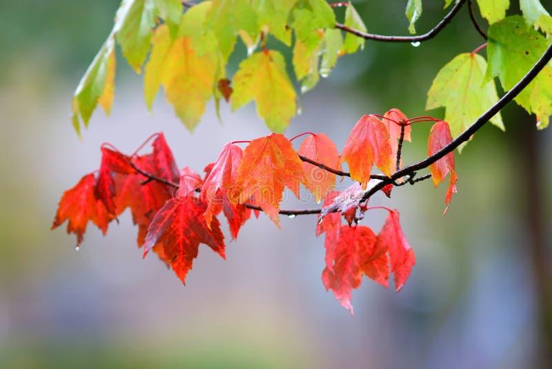 Оранжевые кленовые листы в лесе стоковые фото
