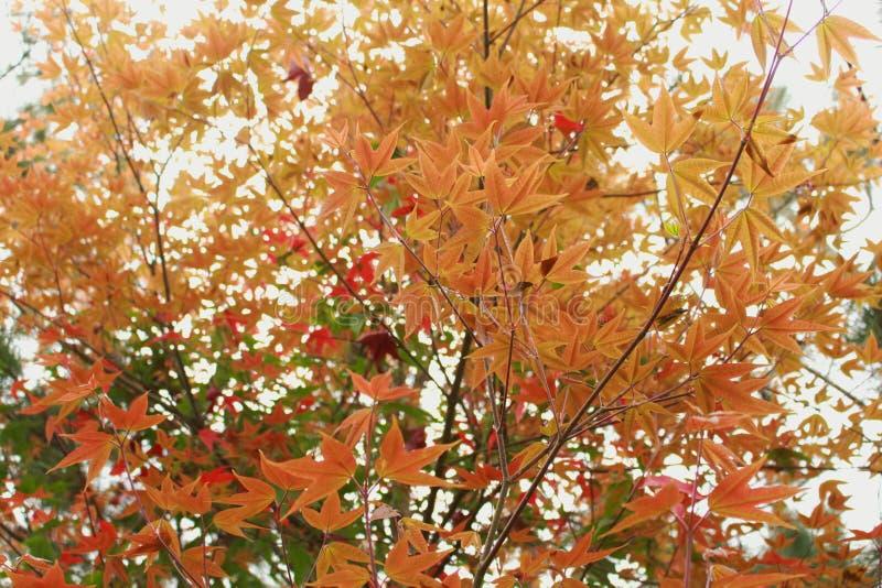 Оранжевые кленовые листы в утре стоковое изображение