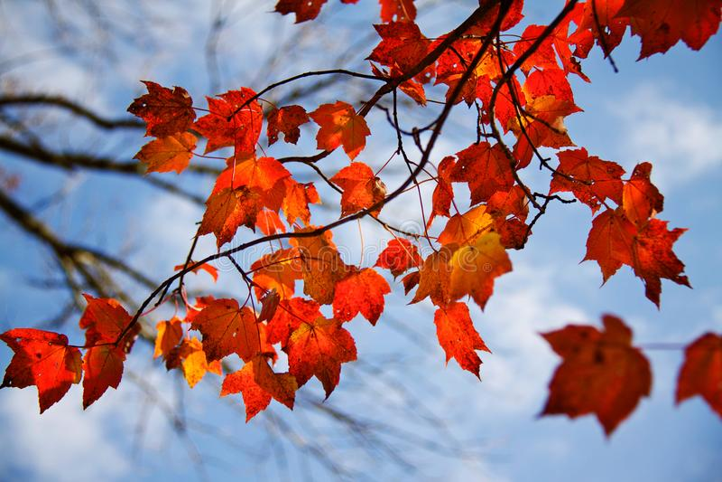 Оранжевые кленовые листы, небо осени стоковое фото