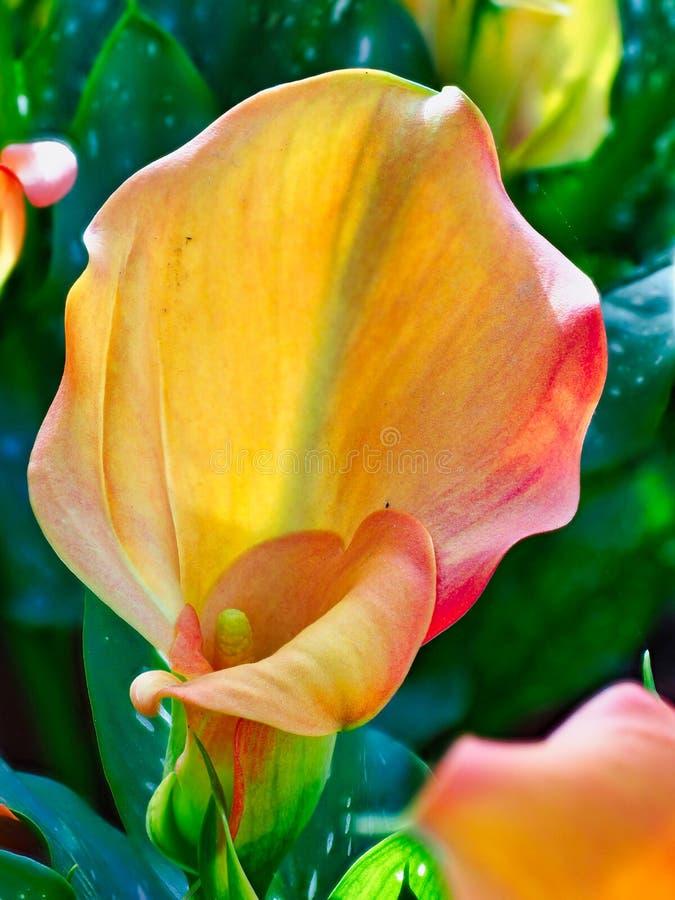 Оранжевые лилии Calla в саде стоковая фотография rf