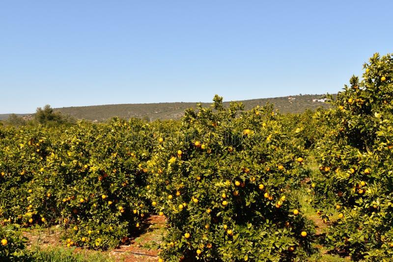 Оранжевые плантации на побережье Алгарве в Португалии Лагосе, Faro, Albufeira, Loulé, стоковое изображение rf