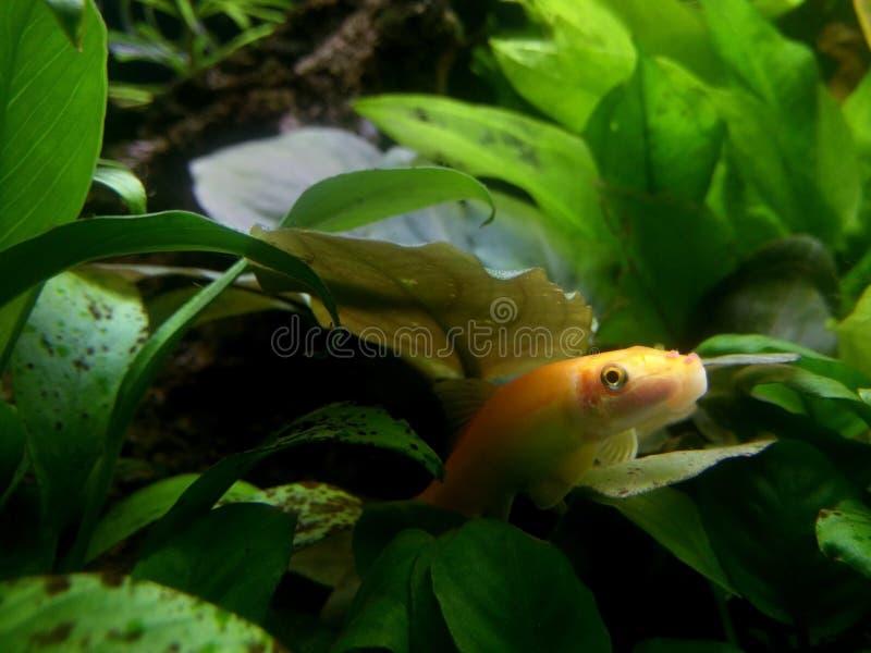 Оранжевые тропические рыбы стоковая фотография