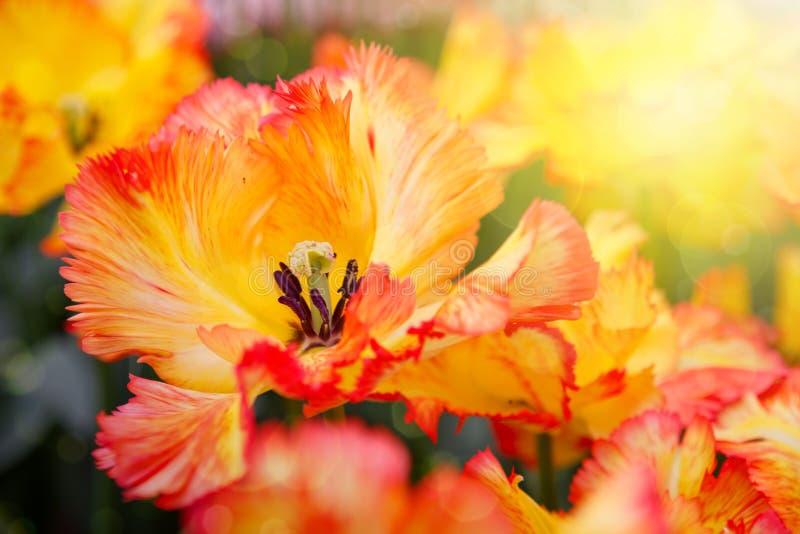 Оранжевые тюльпаны и солнечность стоковая фотография