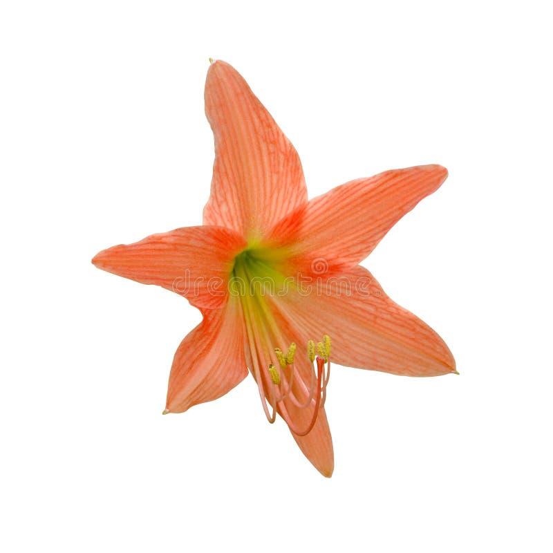 Оранжевые цветки амарулиса Hippeastrum стоковые изображения