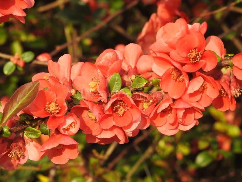 Оранжевые цветки дерева весны стоковые фотографии rf