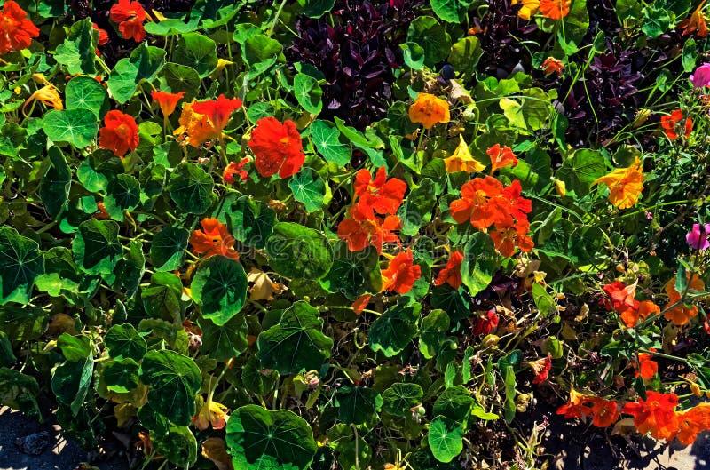 Оранжевые цветки и листья зеленого цвета с фиолетовым кустом любят завод стоковое изображение