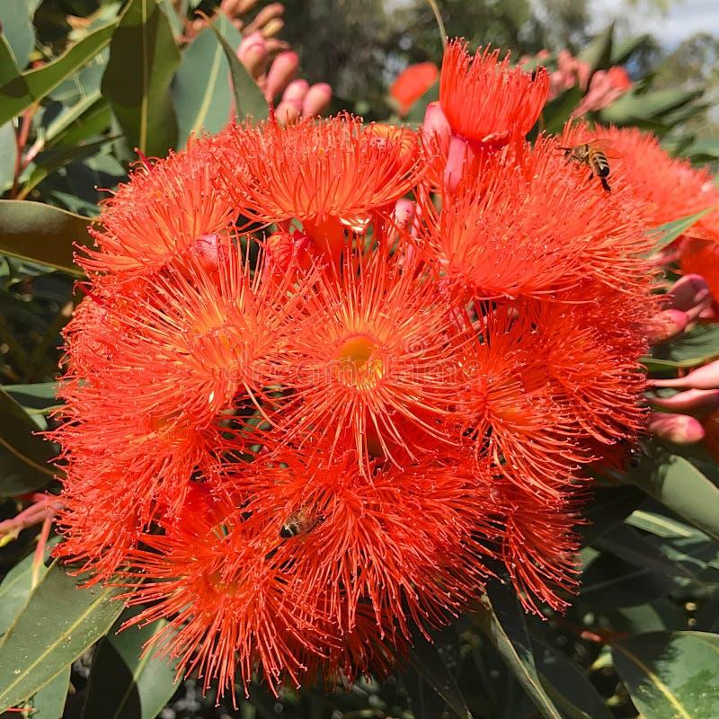 Оранжевые цветки камеди стоковое фото