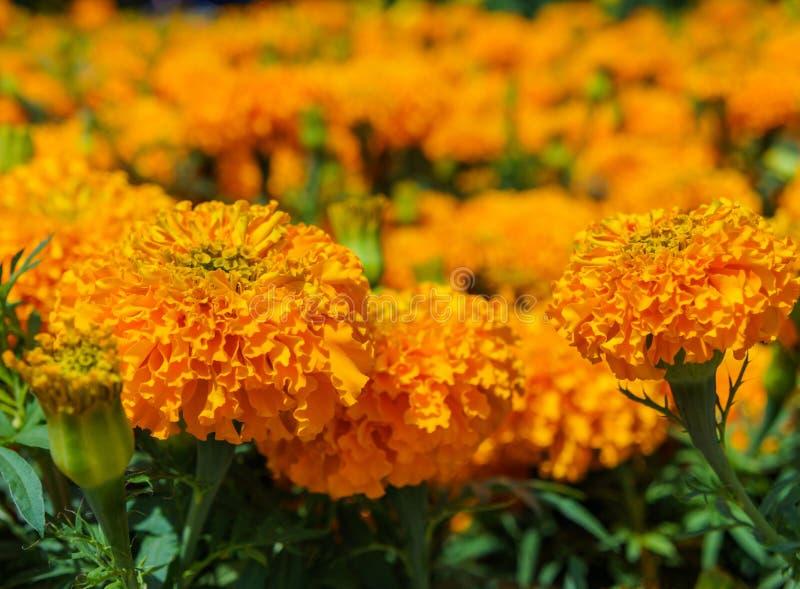 Оранжевые цветки ноготков стоковые изображения