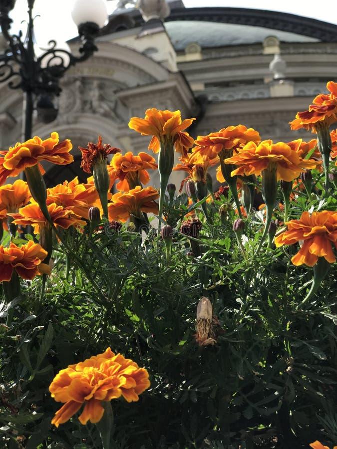 Оранжевые цветки перед оперным театром Kyiv стоковое фото