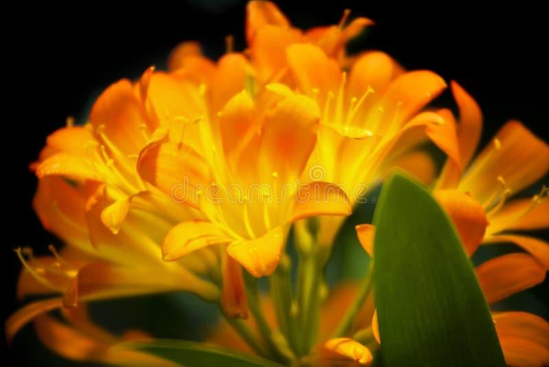 Оранжевые цветки Clivia Miniata стоковое изображение
