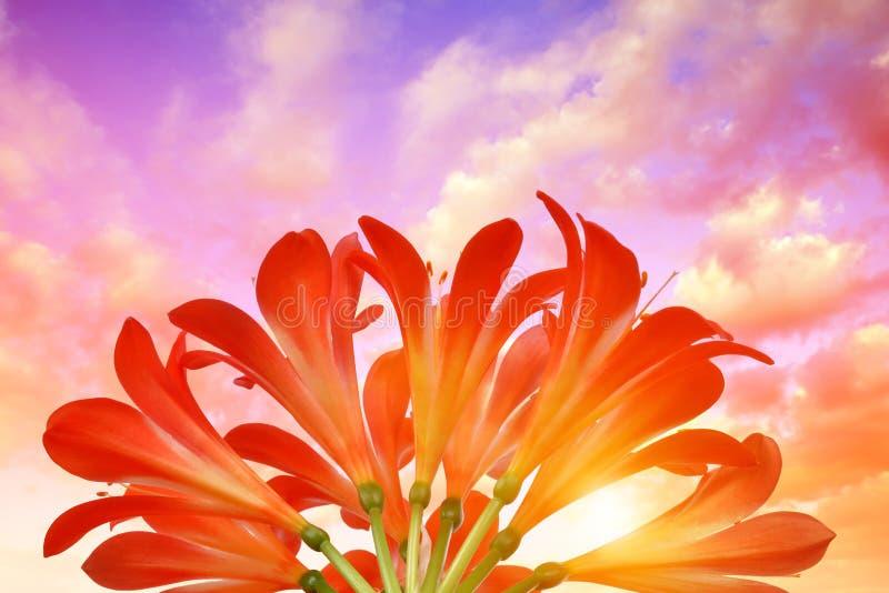 Оранжевые цветки miniata Clivia стоковые изображения