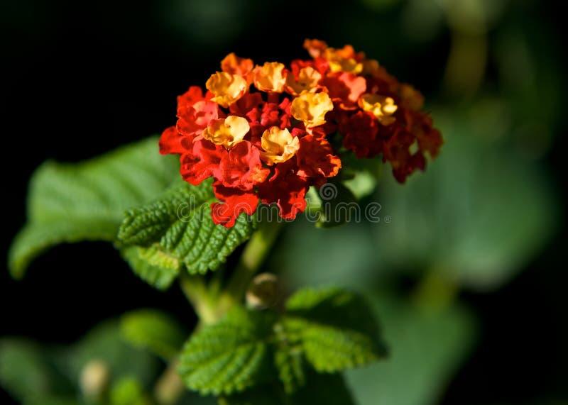 Оранжевые цветки Tagete в конце сада вверх в предпосылке нерезкости красочной, предпосылке весны, цветках tagete закрывают вверх  стоковые фото