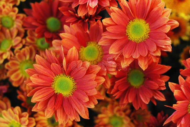 Оранжевый букет цветка хризантемы Закройте вверх с зеленой серединой стоковая фотография