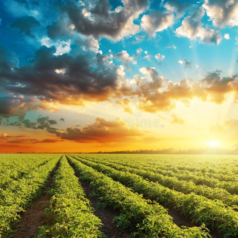 Оранжевый заход солнца и зеленое аграрное поле с томатами стоковое изображение rf